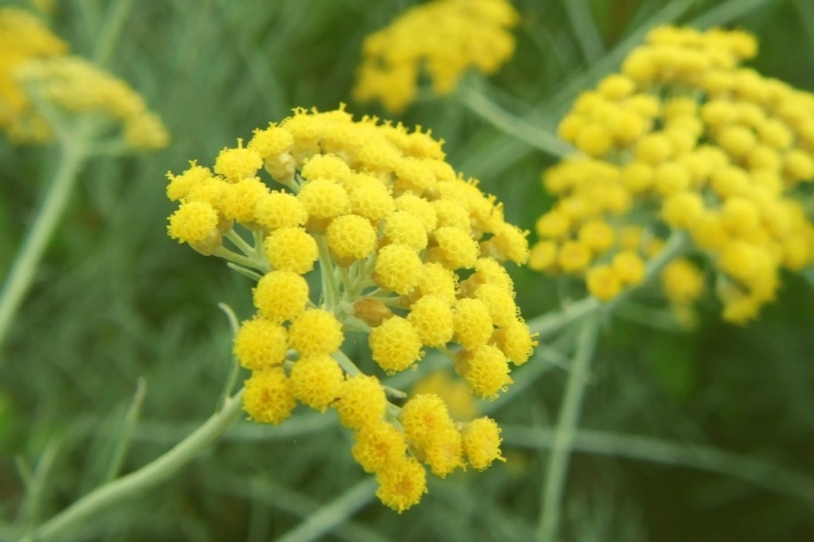 The uniqueness of the Corsican Immortelle !